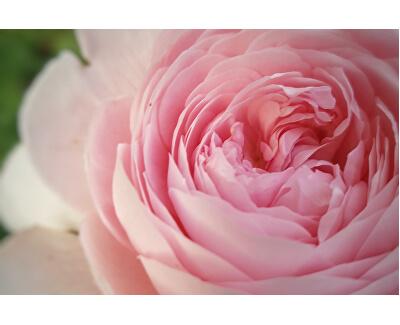 Výživný pleťový elixír s růží 50 ml